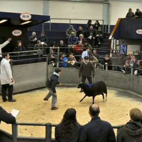 Sheep Tag in the Ring
