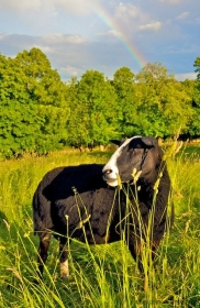 Zwartbles sheep rainbow