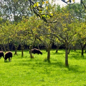 Zwartbles Lambs Grazing the Orchard
