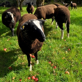 Zwartbles Lambs Enjoying Apples