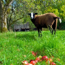 Zwartbles Lamb with wind fall Apples