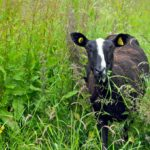 Pull your Zwartbles out of the field and Scrub up  for the Champtionships