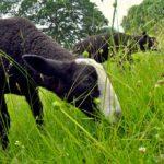 Zwartbles Lambs
