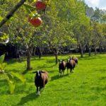 Autumnal Zwartbles Lambs