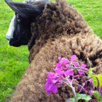 Zwartbles Wool With Honesty