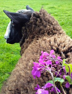 Zwartbles Wool With Honesty