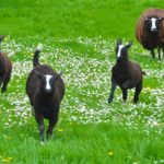 A Zwartbles Quad Galloping Towards Show Season