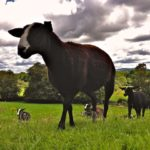 Zwartbles in late Summer