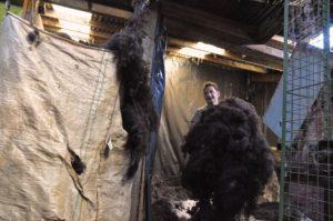 Arm Full of Teased Zwartbles Wool