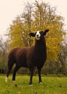 Zwartbles Ewe Lamb 2012