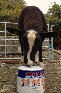 Whiskey the ram Inspecting his paint
