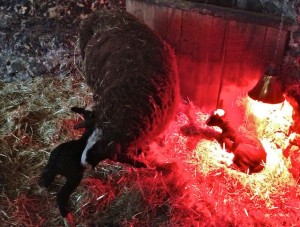 Second Lamb is Still Trying to Nurse