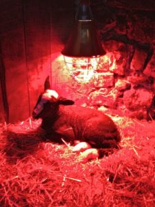 The Older Brother Staying Warm Under the Heat Lamp