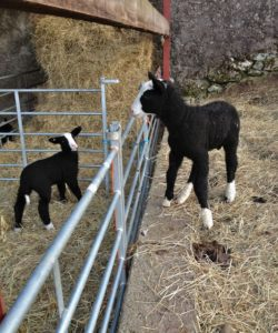 I've just removed the wrapped front pasterns from lamb on right. He now looks down on his old brother. Both legs not a bother on him.