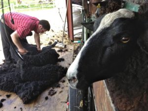 Shearing Day May 2013
