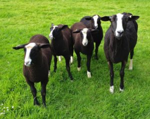 Zwartbles ewe with her 4 lambs