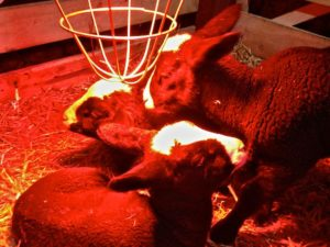 Zwartbles lambs warming themselves on a bitter March night