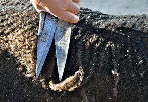 Hand Shearing Show Trim
