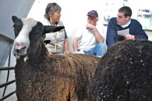 Zwartbles Breeders from Northern Ireland, Galway & Cork