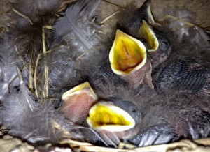 These Swallows to Young & Hungry