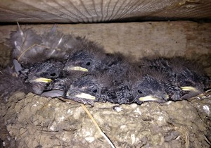 Still Very Immature Swallows