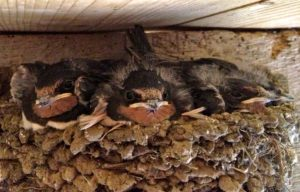 These Swallows are too Mature & About to Leave the Nest