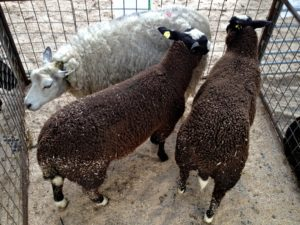 Beltex Ewe with half breed Zwartbles Hybrids