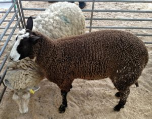 Charollais Ewe with Her Zwartbles Hybrid Lamb at Foot