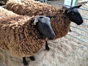 Texel & Mule Zwartbles Hybrids