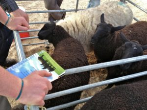 A Commercial Ewe with Zwartbles Hybrid Lambs at Foot