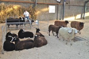 A Demonstration of Zwartbles Docility