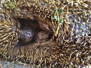 Hedgehog Curled up Protectively Tight