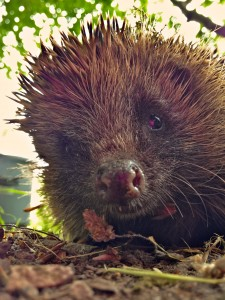 Meet Mrs. Hedgehog