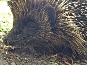 Such a sweet face all whiskers, prickles & beady eyes.