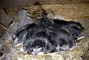A Nest of 4 Swallows at About the Same Age