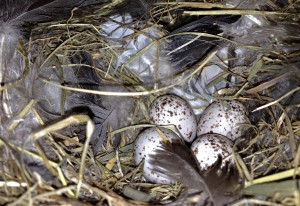 Only Unhatched Swallow Eggs in this Nest