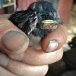 Fallen Swallow Nestling