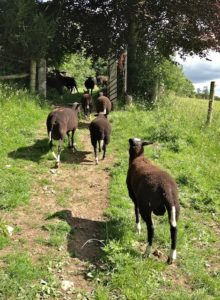 The Last Ewes & Lambs Trotting out the Field Gate