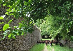 Lambs Galloping Up the Laneway