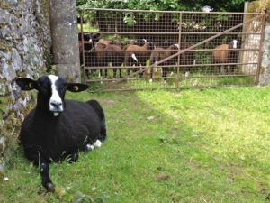 A Zwartble Ewe Ignoring the Calling Lambs