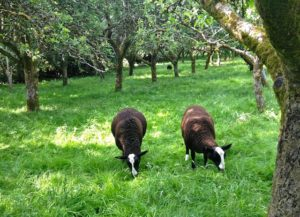 Two Happy Lambs Grazing