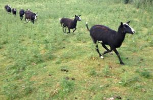 Ewes Galloping Towards the Fresh Field