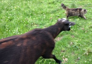 A Ewe Walking Over to Greet Mr.B