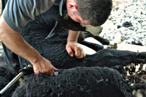 Zwartbles Being Shorn
