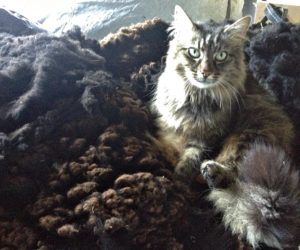 A Comfortable Cat So Passes Softness Test