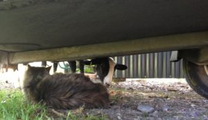 A Lamb Trying to Join Mr.B in Trailer Shade
