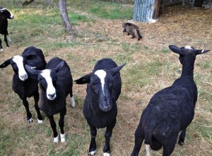 Work Done the Cat Shepherd Leaves His Flock of Boys