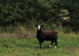A Galway Zwartbles Ewe Lamb