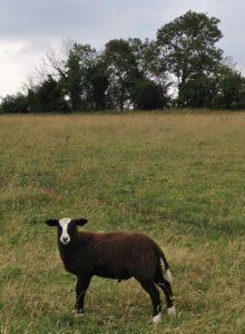 Galway Zwartbles Ram Lamb