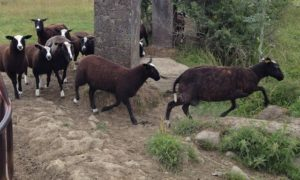 Zwartbles Gap Jumping